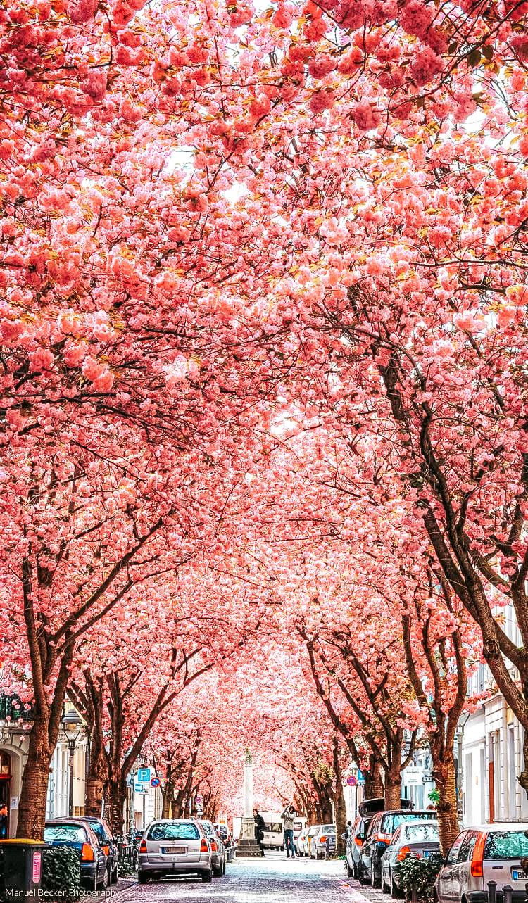 bonn-germany-cherry-blossoms-cherry-blossom-avenue